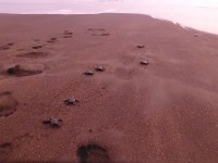 Die frisch geschlüpften Schildkröten watscheln in den Sonnenuntergang