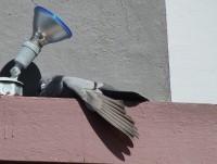 Erschöpfte Taube in Alajuela