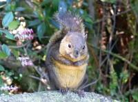 Poás-Eichhörnchen