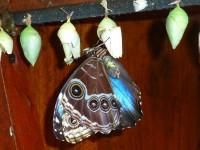 Blauer Morphofalter beim Schlüpfen