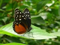 Schmetterling in den La Paz Waterfall Gardens
