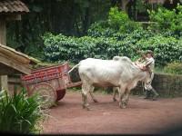 Traditioneller Ochsenkarren