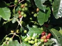 Kaffeebaum auf der Plantage Doka Estate