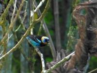 Vögelchen im Tirimbina Reservat