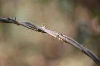 Das natürliche Vorbild des Stacheldrahts?