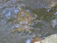 Kleine Schildkröte in Lomas-Barbudal