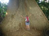 Großer Ceiba