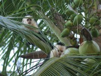 Weißschulterkapuziner in Cahuita