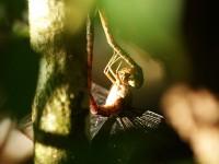 Libelle in Cahuita