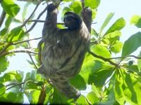 Faultier im Nationalpark Cahuita