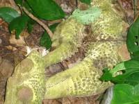 Wurzel im Nationalpark Cahuita