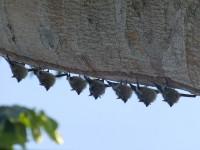 Weiße Fledermäuse im Nationalpark Cahuita