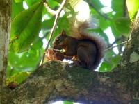Bunthörnchen im Nationalpark Cahuita