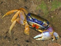 Blaue Krabbe in Cahuita