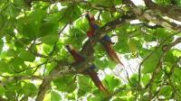 Die ersten roten Aras, die wir in freier Wildbahn zu Gesicht und Gehör bekamen