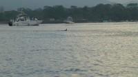 Delfinflosse